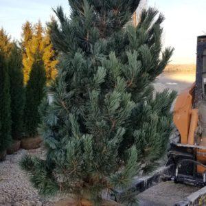Pinus Flexills 'Vanderwolf's Pyramid'