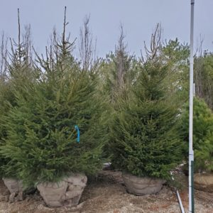 Picea Abies Norway Spruce 10'