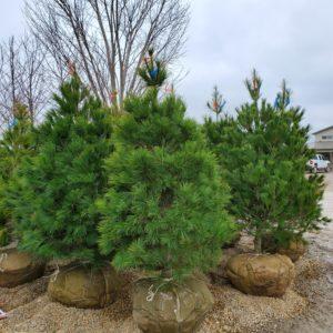 Pinus Strobus Eastern White Pine 6-7'